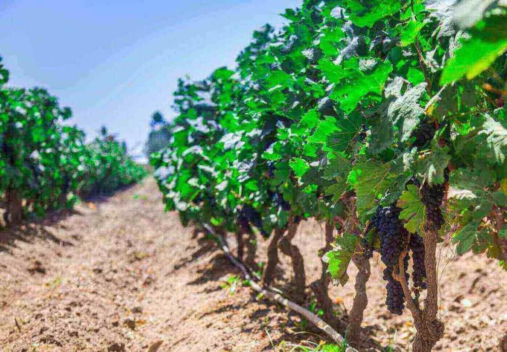 zavlažovanie viniča